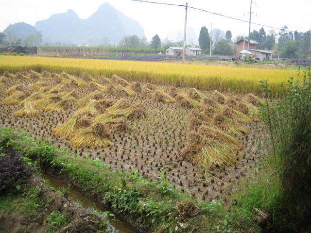 Rice field near Guilin, China
