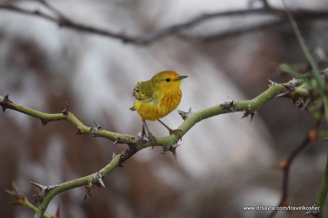Yellow Warbler (Canario Maria)