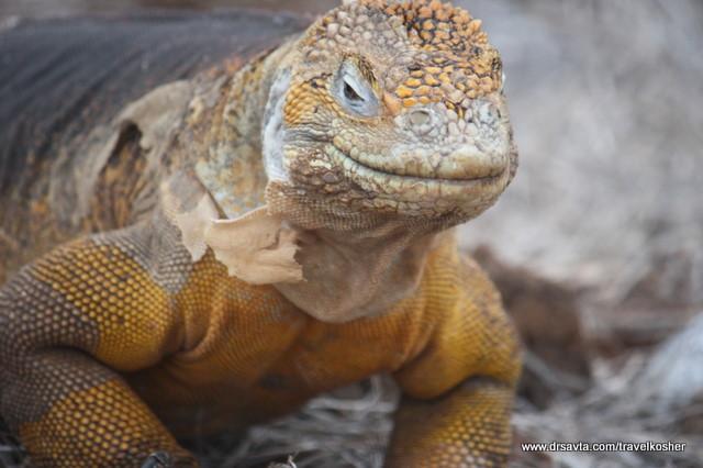 A land iguana